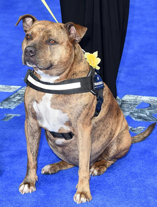 "<p>Canine-loving director Michael Bay cast <a href=""http://ew.com/article/2016/09/22/transformers-last-knight-freya-dog-featurette/"" rel=""nofollow noopener"" target=""_blank"" data-ylk=""slk:Freya, a.k.a. the World's Loneliest Dog"" class=""link rapid-noclick-resp"">Freya, a.k.a. the World's Loneliest Dog</a>, in <em>The Last Knight</em>. (Photo: Stuart C. Wilson/Getty Images) </p>"