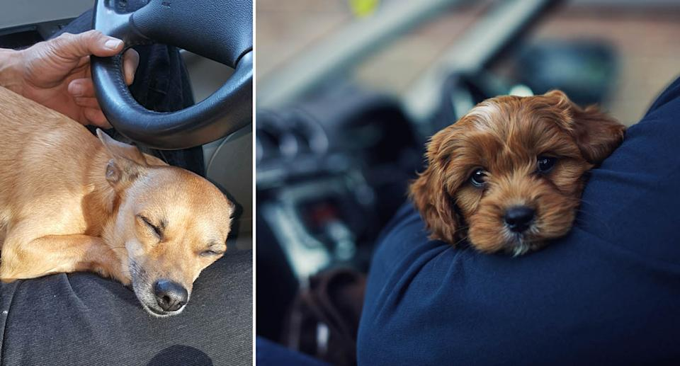 Dogs resting on their owners in cars. Source: Getty Images