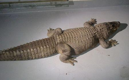 An eight foot alligator that was taken from a home by the Los Angeles Animal Control Department is shown in this handout photo released to Reuters January 15, 2015. REUTERS/Los Angeles Animal Control Department/Handout via Reuters