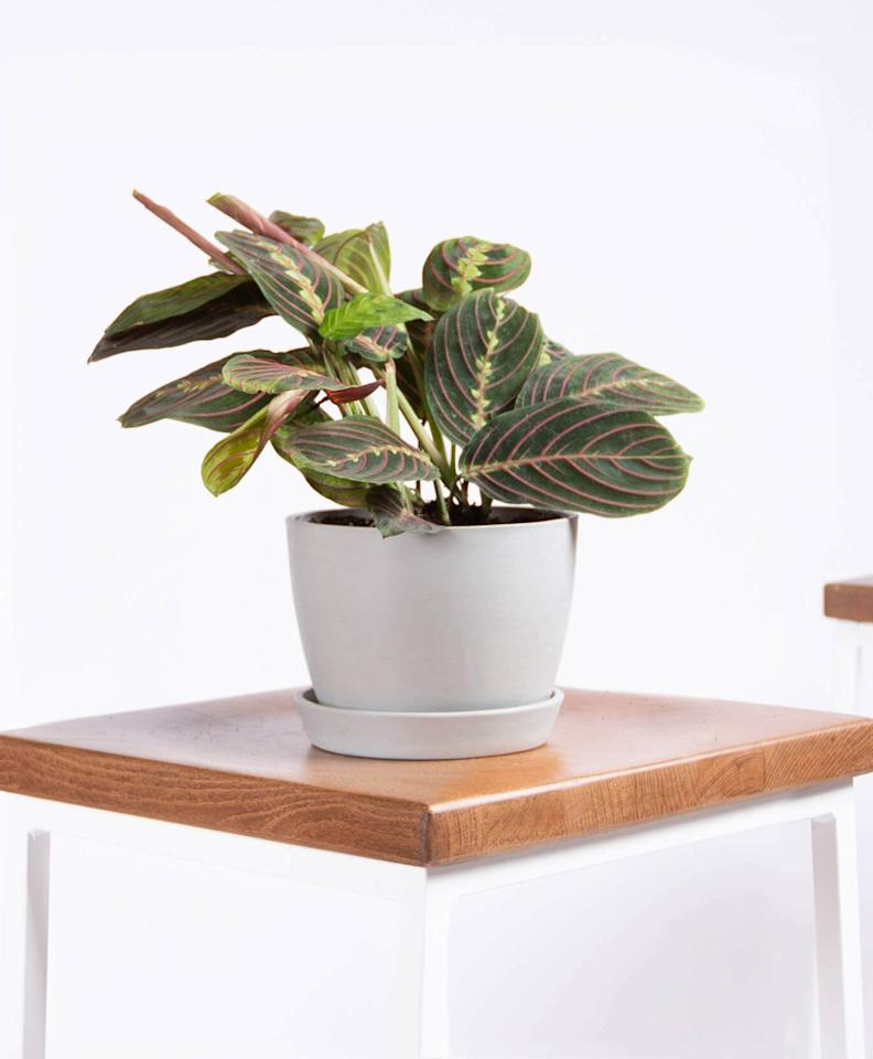 """<p>The <a href=""""https://www.popsugar.com/buy/Potted-Red-Prayer-Plant-Maranta-480766?p_name=Potted%20Red%20Prayer%20Plant%2C%20Maranta&retailer=bloomscape.com&pid=480766&price=35&evar1=casa%3Aus&evar9=46505523&evar98=https%3A%2F%2Fwww.popsugar.com%2Fhome%2Fphoto-gallery%2F46505523%2Fimage%2F46505715%2FPotted-Red-Prayer-Plant-Maranta&list1=shopping%2Ccollege%2Chouse%20plants%2Cplants%2Cdorms%2Chome%20shopping&prop13=mobile&pdata=1"""" rel=""""nofollow"""" data-shoppable-link=""""1"""" target=""""_blank"""" class=""""ga-track"""" data-ga-category=""""Related"""" data-ga-label=""""https://bloomscape.com/product/red-prayer-plant/"""" data-ga-action=""""In-Line Links"""">Potted Red Prayer Plant, Maranta </a> ($35) can handle low and bright light conditions - perfect for dorm rooms!</p>"""