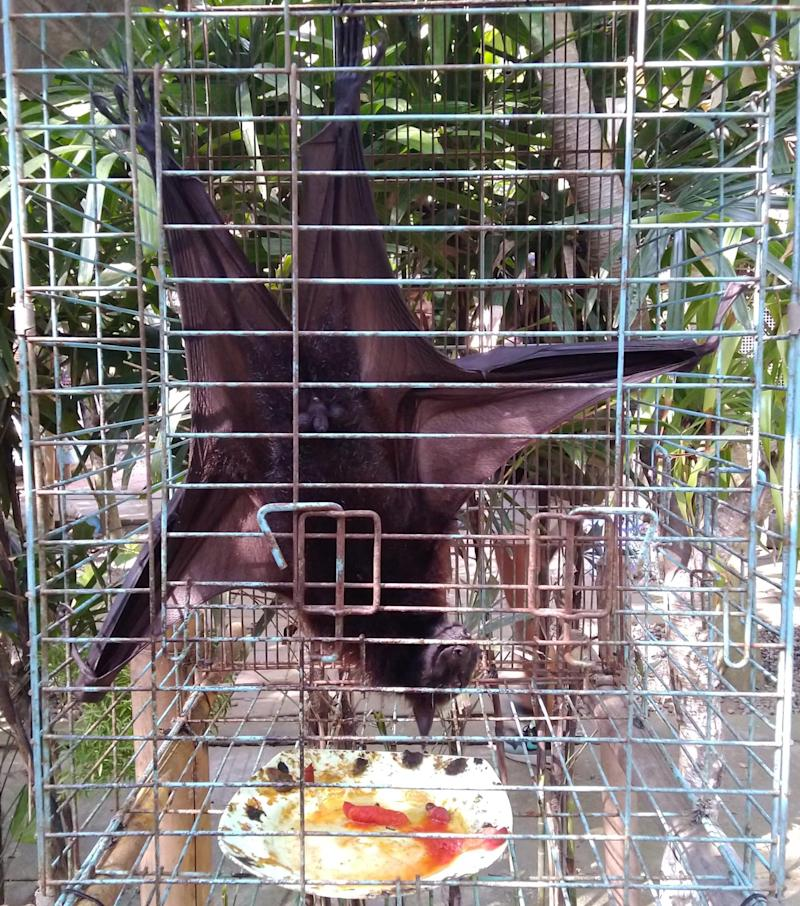 A fruit bat in a small cage.