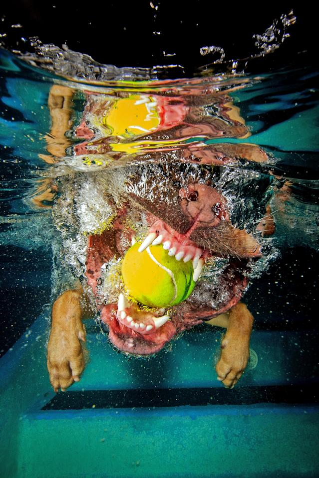 <p>The puggle bites down on a tennis ball. (Photo: Jonny Simpson-Lee/Caters News) </p>