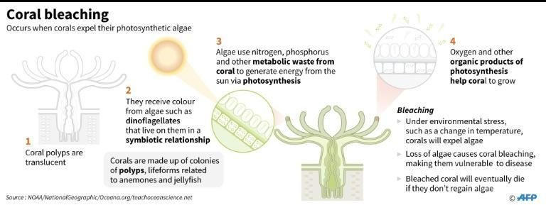 Bleaching occurs when abnormal conditions such as warmer sea temperatures cause corals to expel tiny photosynthetic algae, draining them of their colour