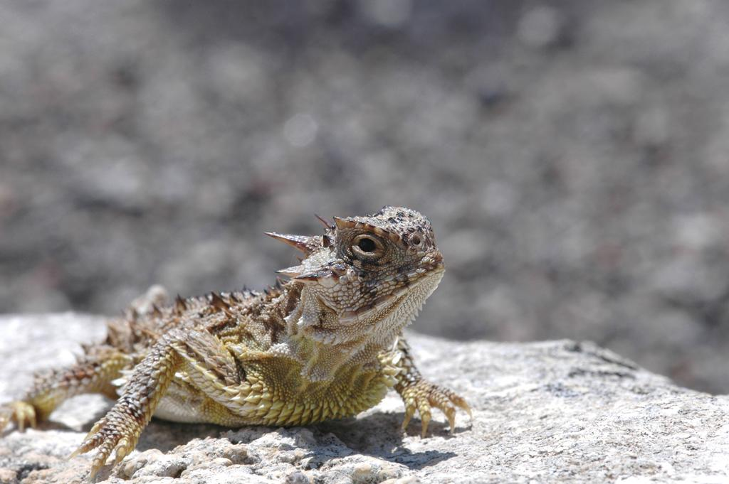 <b>Regal Horned Lizard</b> (Phrynosoma solare)<br>Sonoran Desert, Arizona, USA<br><br>When in danger, the North American group of Regal Horned Lizards can limit the blood flow from the head until pressure builds in the eye vessels and blood shoots out.