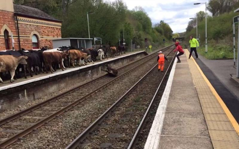 A cow falls onto the tracks at Hever station - Credit: Luke Ryan