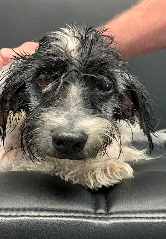 Morty, a 10-and-a-half-year-old male Havanese senior dog, is the Smithtown Pet of the Week. (Courtesy: Town of Smithtown)