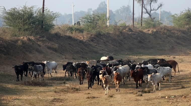 cow vigilantism bill, Madhya Pradesh, Violence against cow slaughter, Kamal nath, Congress, cow vigilantism bill madhya Pradesh, anti-cow slaughter Act, mob lynching, india news, Indian express