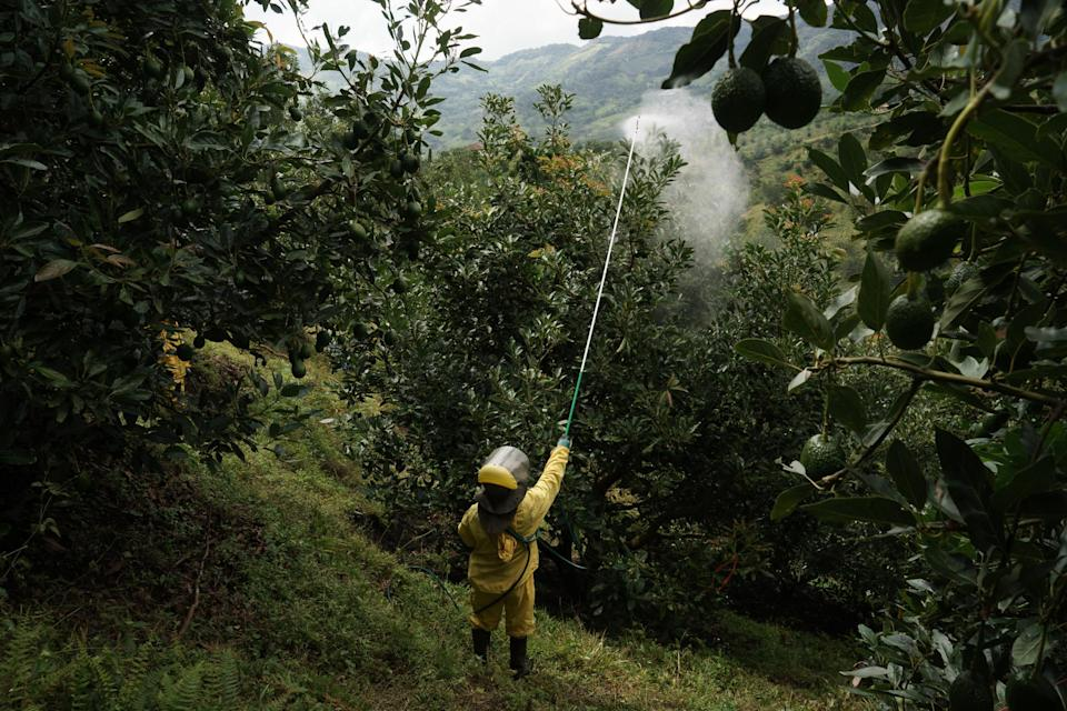 A worker fumigates avocado trees to protect them from mites, a requirement for exports. Photographer: Mariana Greif Etchebehere/Bloomberg