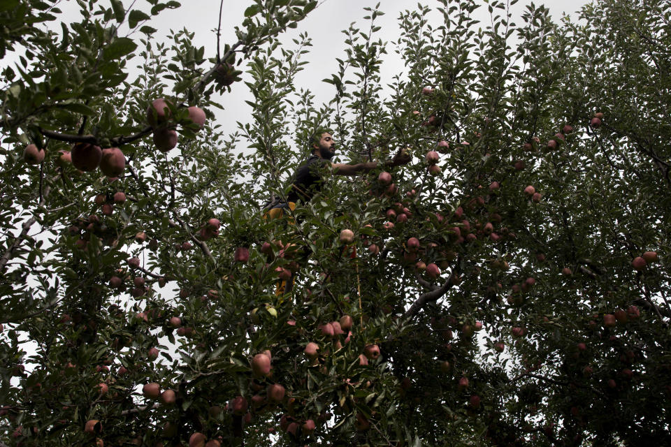 In this Sunday, Oct. 6, 2019 photo, a Kashmiri farmer Jamshed Ahmad plucks apples at his orchard in Wuyan, south of Srinagar Indian controlled Kashmir. The apple trade, worth $1.6 billion in exports in 2017, accounts for nearly a fifth of Kashmir's economy and provides livelihoods for 3.3 million. This year, less than 10% of the harvested apples had left the region by Oct. 6. Losses are mounting as insurgent groups pressure pickers, traders and drivers to shun the industry to protest an Indian government crackdown. (AP Photo/Dar Yasin)