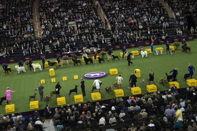 Dogs compete in the working group at the Westminster Kennel Club Dog Show on Tuesday, Feb. 11, 2020, in New York. (AP Photo/Wong Maye-E)