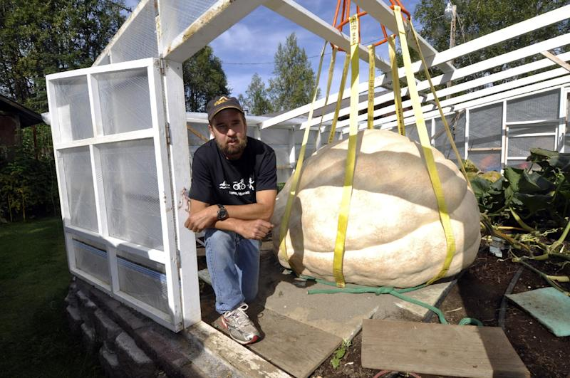 In this Monday, Aug. 26, 2013, photo, J.D. Megchelsen poses next to his giant pumpkin in the Halbouty area of Nikiski, Alaska. J.D. Megchelsen holds the record for giant pumpkins in Alaska, and knew he had a candidate this year to beat the record of 1,287 pounds set in 2011_But when a boom truck gently lifted the behemoth on Monday with rigging and a sling, the big pumpkin revealed a big disappointment: a thumb-size hole that will make it ineligible for the competition at the Alaska State Fair in Palmer. (AP Photo/Peninsula Clarion, Greg Skinner)