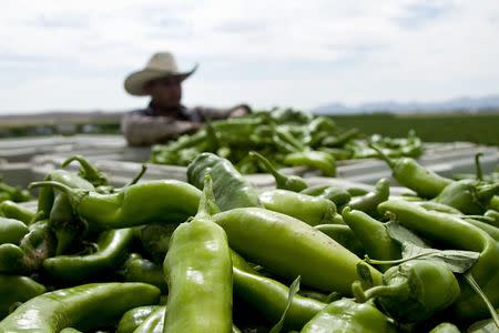 A farmer harvests chile peppers in Hatch, New Mexico in an undated photo provided by the New Mexico Tourism Department. REUTERS/New Mexico Tourism Department/handout via Reuters