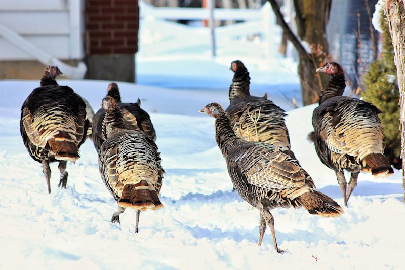 Gangs of Wild Turkeys Pecking Cars, Breaking Windows and Generally Causing Chaos in New Jersey