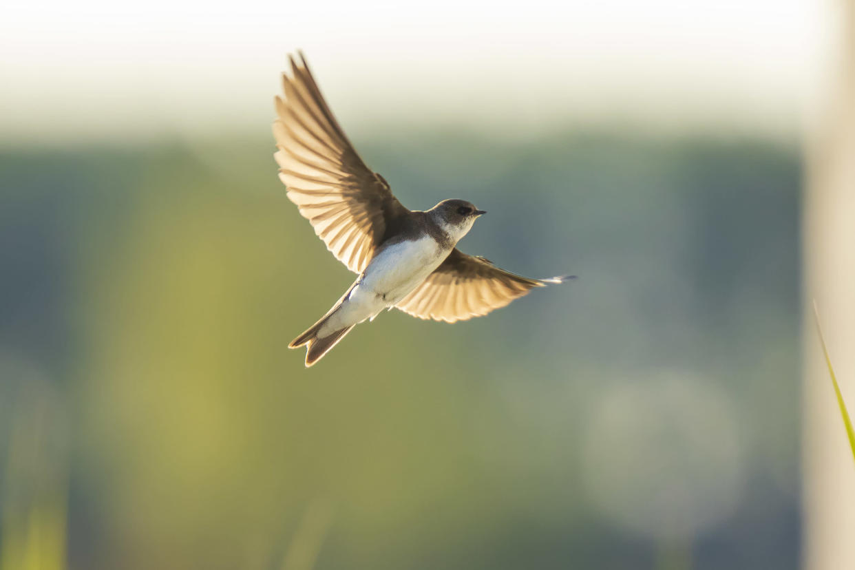 Sand martin, Riparia riparia, also known as bank swallow in flight, building a nest