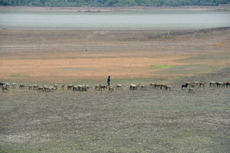 A shepherd and his flock walk across the dried out Puzhal reservoir on the outskirts of Chennai, which has been hit by drought after lower than usual rainfall (AFP Photo/ARUN SANKAR)