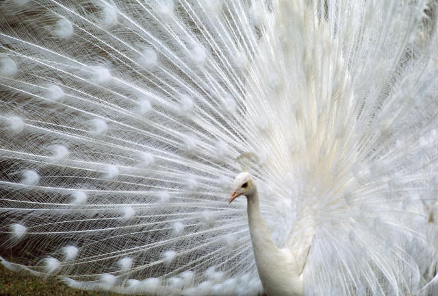 <p>A white albino peacock. (Photo: Ian Beames/Caters News) </p>