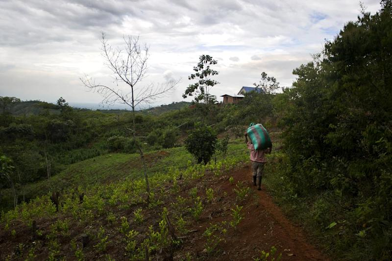 A man carries a bag with coca leaves in a rural area of Corinto, department of Cauca, Colombia, on December 9, 2013
