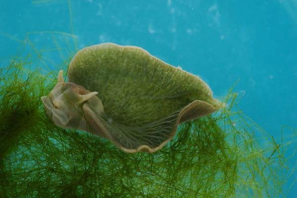 This green slug, Elysia chlorotica, produces its own chlorophyll and so can carry out photosynthesis, turning sunlight into energy, scientists have found.