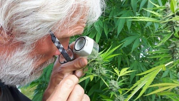 John Lenart, ArcticPharm's master grower, checks out some test plants. The climate around Whitehorse is ideal for growing cannabis, said Chris Cornborough, ArcticPharm's president.