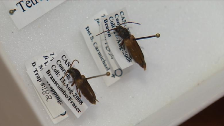 Additional traps set in Memramcook for invasive insect