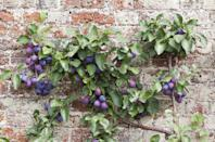 """<p>You can actually prune certain types of fruit trees to grow against a wall, a process called <em><strong>espalier</strong></em>. Start with a 1- or 2-year-old tree and attach two supple branches to the wire about 18 inches off the ground, advises the <a href=""""https://extension.oregonstate.edu/news/training-fruit-tree-espalier-takes-good-dash-dedication"""" rel=""""nofollow noopener"""" target=""""_blank"""" data-ylk=""""slk:Oregon State University Extension Service"""" class=""""link rapid-noclick-resp"""">Oregon State University Extension Service</a>. Then take time as the seasons go on to prune your tree carefully. </p>"""