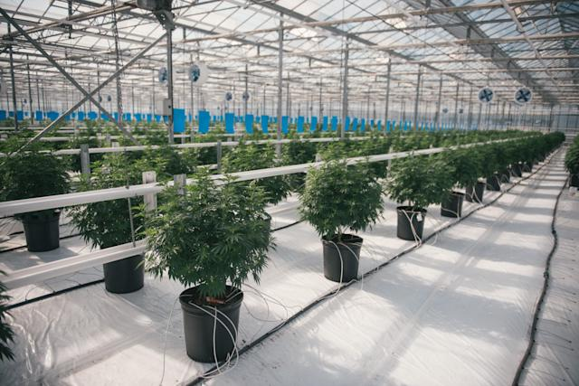 Tweed Farms greenhouse in Niagara-on-the-Lake, Ont. (Canopy Growth Corp.)
