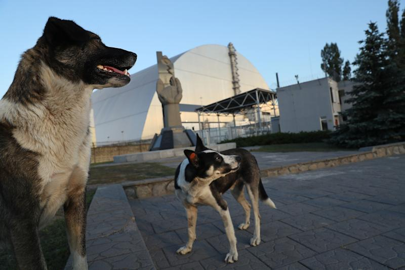 Tagged, stray dogs stand at a monument outside the new, giant enclosure that covers devastated reactor number four at the Chernobyl nuclear power plant on August 18, 2017.