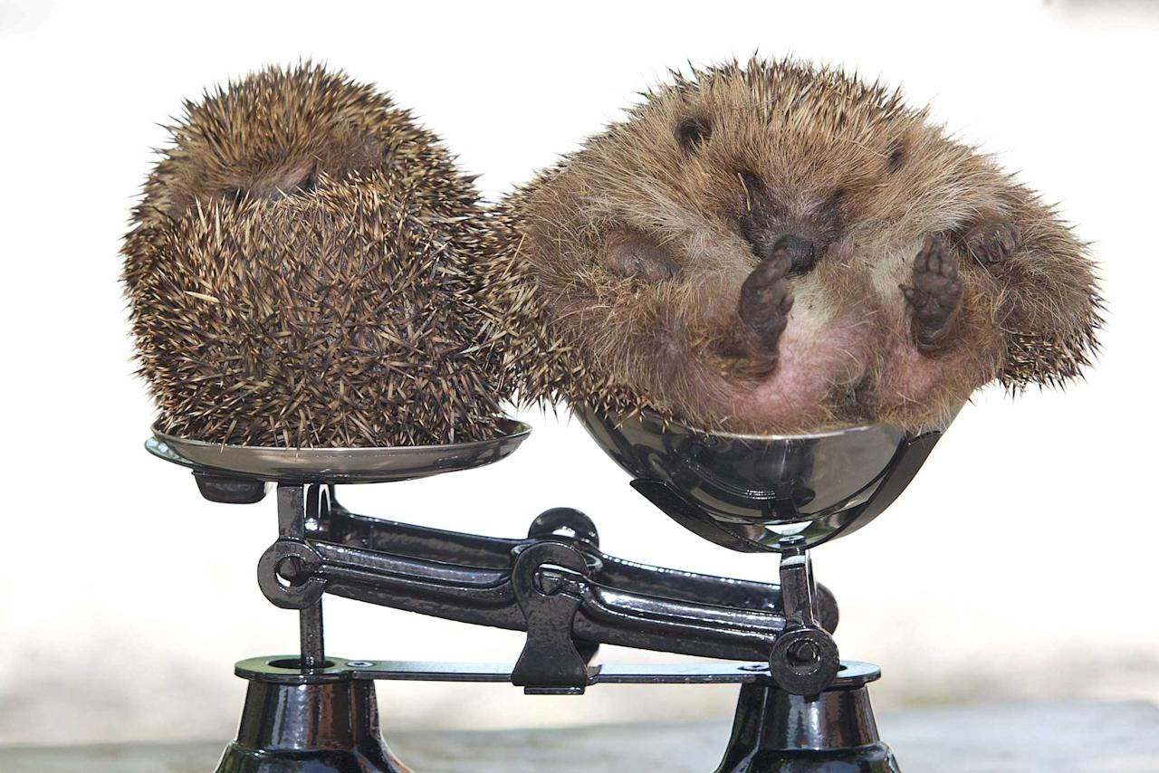 Roly Poly the overweight hedgehog (right) on a set of scales with a normal sized hedgehog. See SWNS story SWHOG; A hedgehog which got so fat he could not roll into a ball has been put on a diet - after ballooning to TWICE his normal size. Roly Poly the portly hedgehog was officially declared to be obese after gobbling huge bowls of cat food. Rotund Roly was found in a garage wrapped up in an old Father Christmas jacket - he was too underweight to hibernate, and would have surely perished if a retired couple had not taken pity on him. The cute hedgehog spent the winter on a heated pad in a conservatory in Minehead, Somerset, and ballooned to almost 2kg by munching bowls of cat food.
