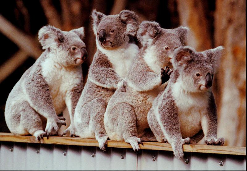 A group of koalas gather atop a fence in this undated photo. Authorities in South Australia state rejected calls from conservationists to cull thousands of koalas that are stripping trees on an island, saying it would spark a damaging tourist backlash, Monday, March 1, 2004. South Australia Environment Minister John Hill said the state's tourism industry would be savaged by the bad publicity such a cull would bring. (AP Photo/Steve Holland, FILE)