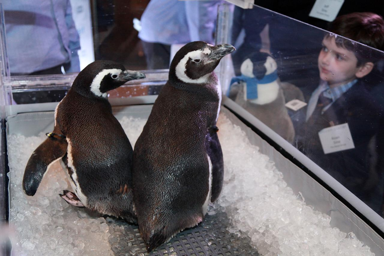 "NEW YORK, NY - MARCH 08:  SeaWorld penguins Pete and Penny are displayed at the after party for the ""Frozen Planet"" premiere at Alice Tully Hall, Lincoln Center on March 8, 2012 in New York City.  (Photo by Astrid Stawiarz/Getty Images)"