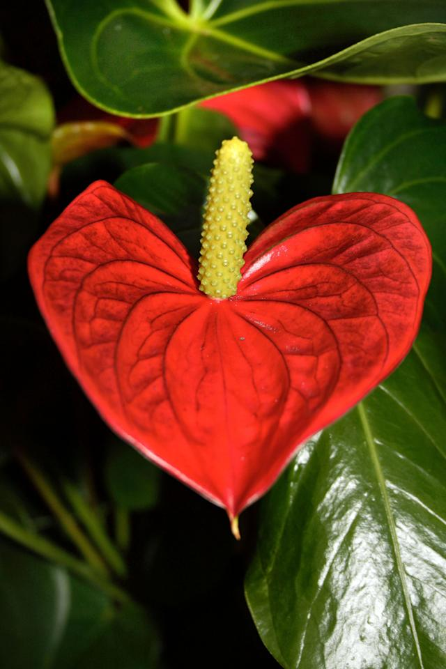 **MANDATORY BYLINE** PIC FROM ERIC DODDS/FOTOLIBTA/CATERS NEWS - (PICTURED A heart-shaped Red Anthurium) With Valentines Day just around the corner its the time of year when love is in the air but as these pictures prove - its all over the earth too. These extraordinary images, taken by photographers across the globe, show Mother Nature is also gearing up to celebrate the big day with iconic heart shapes appearing all over the natural world. The charming pictures capture Mother Natures romantic side and feature several signs of love including an adorable fluffy penguin with a white heart emblazoned on its chest. Other natural displays include a flamingo creating a heart shape with its white and pink plumage and two swans which appear to kiss as they form a heart shape with their necks. SEE CATERS COPY