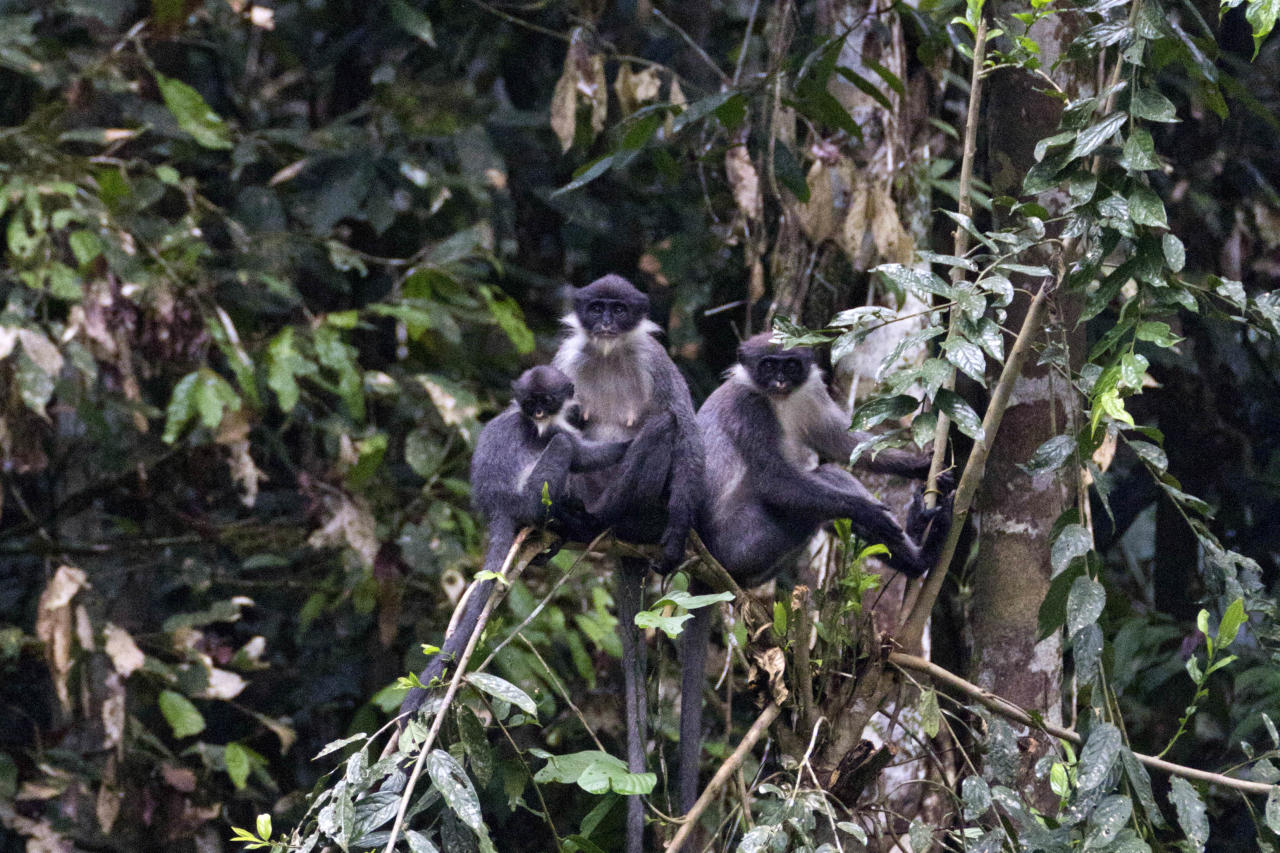 In this undated photo released by Ethical Expeditions, Miller's Grizzled Langurs sit on a tree branch in Wehea forest in eastern Borneo, Indonesia. Scientists working in the dense jungles of Borneo have rediscovered the large, gray monkey so rare it was believed by many to be extinct. (AP Photo/Ethical Expeditions, Eric Fell) MANDATORY CREDIT, NO SALES