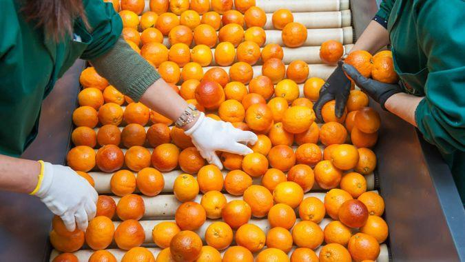 The manual selection of fruits: workers ckecking oranges to reject the seconde-rate ones.