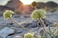 This photo provided by Patrick Donnelly and the Center for Biological Diversity, shows Tiehm's buckwheat, a rare wildflower, in the Nevada desert on May 18, 2021. The U.S. Fish and Wildlife Service said Thursday, June 3, 2021, an extremely rare wildflower that grows only in Nevada's high desert where an Australian mining company wants to dig for lithium should be protected under the Endangered Species Act. The agency outlined its intention to propose listing Tiehm's buckwheat as a threatened or endangered species in a court-ordered, finding of its overdue review of a listing petition conservationists filed in 2019.(Patrick Donnelly/Center for Biological Diversity via AP)