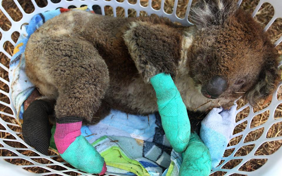 Animals, including koalas, were injured in the blazes - Lisa Maree Williams/Getty Images