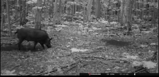 A trail-cam picture capturing a wild pig foraging after dark. The image was posted to a Facebook group called 519 Hunting and Fishing last summer.
