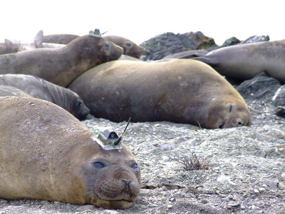 """<img alt=""""""""/><p>Hefty elephant seals regularly dive <a rel=""""nofollow"""" href=""""http://earthguide.ucsd.edu/elephantseals/diving/index.html"""">more than 2,500 feet</a> underwater, holding their breath for 30 minutes while swimming in the dark, frigid ocean depths.</p> <p>This remarkable ability makes these mammals well-suited to collect critical data about deep, warming ocean waters that scientists believe could accelerate the thaw of the vulnerable West Antarctic glaciers. If melted completely, these glaciers, which once included the <a rel=""""nofollow"""" href=""""https://mashable.com/2017/02/16/antarctica-iceberg-glacier/?utm_campaign=Mash-BD-Synd-Yahoo-Science-Full&utm_cid=Mash-BD-Synd-Yahoo-Science-Full"""">Manhattan-sized iceberg</a> that broke off the Pine Island Glacier last year, would raise sea levels by some 10 feet, according to the seal-study's researchers.</p> <p>NASA recently <a rel=""""nofollow"""" href=""""https://www.nasa.gov/feature/jpl/new-study-brings-antarctic-ice-loss-into-sharper-focus"""">confirmed</a> that ice losses in the West Antarctic are ramping up, """"probably in response to global warming.""""</p> <div><p>SEE ALSO: <a rel=""""nofollow"""" href=""""https://mashable.com/2018/05/17/active-hawaii-volcano-loihi-underwater-pacific/?utm_campaign=Mash-BD-Synd-Yahoo-Science-Full&utm_cid=Mash-BD-Synd-Yahoo-Science-Full"""">Deep beneath the Pacific, another active Hawaiian volcano waits to emerge</a></p></div> <p>To better understand how the ice may thaw, scientists attached sensors to the foreheads of 14 southern elephant and Weddell seals, who hunt for fish in these deep waters, in 2014. The seals made over 11,000 deep dives before their annual molting, or skin shedding, naturally detached the devices — but not before providing scientists with an unprecedented amount of information.</p> <p>""""It's a world away from what we had before,"""" Helen Mallett, a researcher at the University of East Anglia who led the study, said in an interview. The study was <a rel=""""nofollow"""" href=""""https://agupubs.o"""