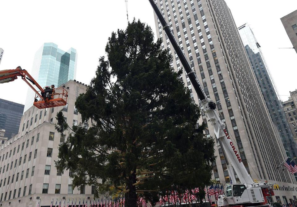 "<p>This Norway Spruce example was so quintessentially Christmas, it adorned Rockefeller Center in 2015. ""Norway spruce <strong>is desirable for its weeping, pendulous form</strong> as a Christmas tree,"" Radin says. ""But needle retention is not very good unless the trees are cut fresh and kept watered.""</p>"