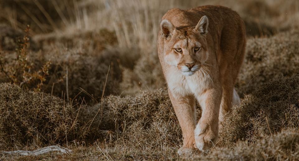 Photo of a mountain lion taken in Torres Del Paine, Chile. Source: Getty Images
