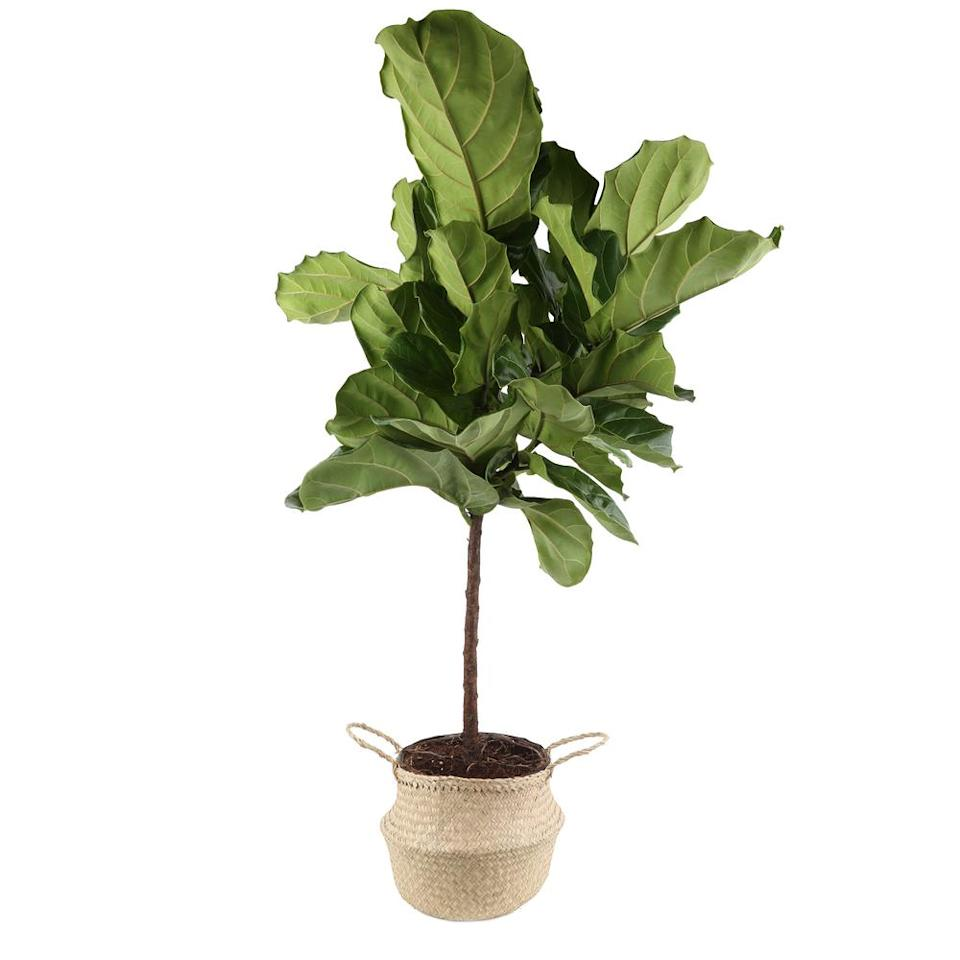 "<strong><h3>Home Depot</h3></strong><br>The OG home improvement store that we may or may not associate with dads actually has one heck of an online houseplant section — the leafy green options range from chic <a href=""https://www.homedepot.com/p/Ficus-Lyrata-Plant-in-9-25-in-Grower-Pot-23782/307739457"" rel=""nofollow noopener"" target=""_blank"" data-ylk=""slk:fiddle-leaf figs"" class=""link rapid-noclick-resp"">fiddle-leaf figs</a> to trendy <a href=""https://www.homedepot.com/p/Costa-Farms-Aloe-Vera-Plant-in-4-in-Pot-90408/202676728"" rel=""nofollow noopener"" target=""_blank"" data-ylk=""slk:aloe vera plants"" class=""link rapid-noclick-resp"">aloe vera plants</a>, <a href=""https://www.homedepot.com/p/Costa-Farms-Yucca-Cane-in-8-75-in-Grower-Pot-10YC1/300834773"" rel=""nofollow noopener"" target=""_blank"" data-ylk=""slk:yucca canes"" class=""link rapid-noclick-resp"">yucca canes</a>, and more that you can order up with all <a href=""https://www.homedepot.com/b/Outdoors-Garden-Center-Plant-Care/N-5yc1vZc8rh"" rel=""nofollow noopener"" target=""_blank"" data-ylk=""slk:the goods to make them thrive"" class=""link rapid-noclick-resp"">the goods to make them thrive</a>.<br><br><em>Visit <a href=""https://www.homedepot.com/b/Outdoors-Garden-Center-Garden-Plants-Flowers-Indoor-Plants-House-Plants/N-5yc1vZcew7"" rel=""nofollow noopener"" target=""_blank"" data-ylk=""slk:Home Depot"" class=""link rapid-noclick-resp"">Home Depot</a>.</em><span class=""copyright"">Photo: Courtesy of Home Depot.</span>"