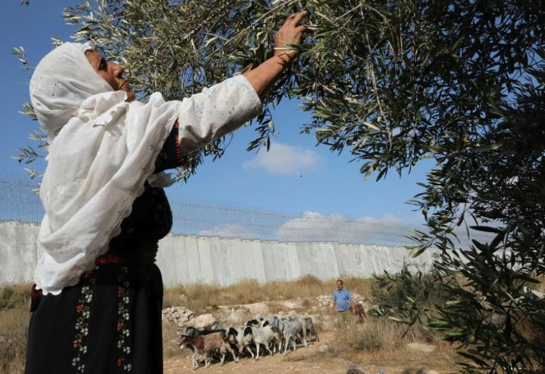A Palestinian woman collects olives during harvest in a field adjacent to Israel's controversial separation barrier in the village of Dura, near Hebron (AFP Photo/HAZEM BADER)