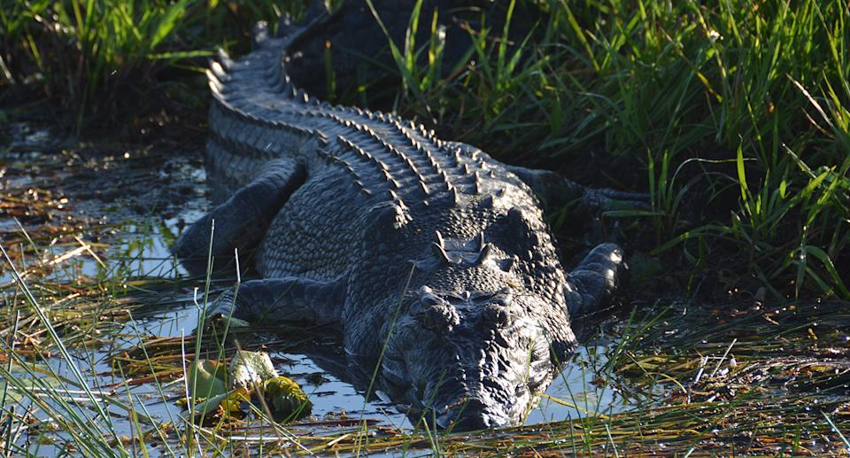 A crocodile basks in the early morning sunlight beside a waterhole on the South Alligator River.