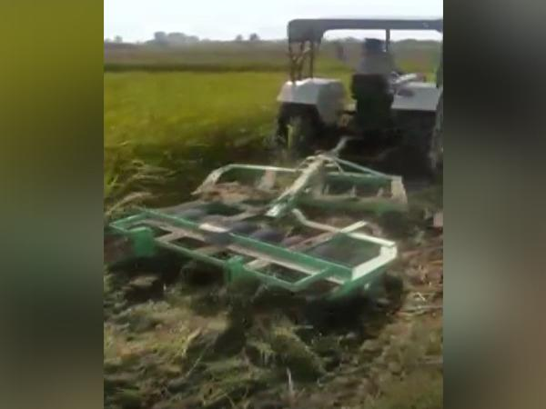 A farmer destroyed his own paddy crops in Lakhimpur (Photo/ANI)