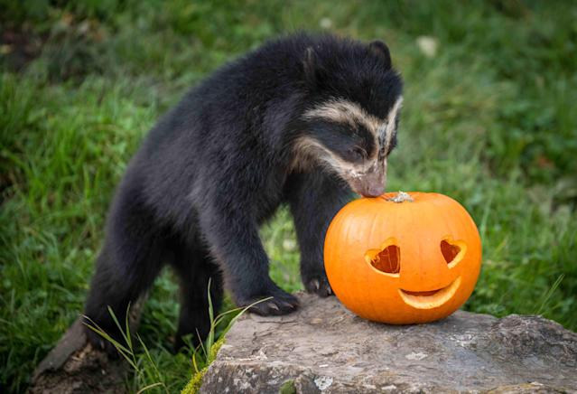 <p>Ten-month-old Andean bear cub Madidi plays with a pumpkin during Halloween at Chester Zoo in Chester, Britain, on Oct. 17, 2017. (Photo: Chester Zoo/Caters News) </p>