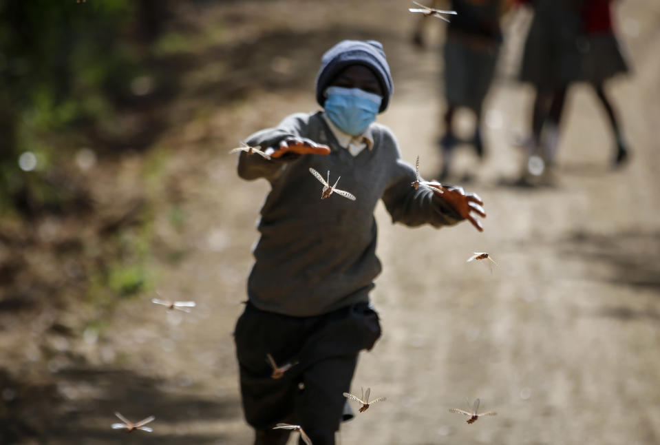 Stephen Mudoga, 12, the son of a farmer, chases locusts as he returns home from school, at Elburgon, in Nakuru county, Kenya Wednesday, March 17, 2021. It's the beginning of the planting season in Kenya, but delayed rains have brought a small amount of optimism in the fight against the locusts, which pose an unprecedented risk to agriculture-based livelihoods and food security in the already fragile Horn of Africa region, as without rainfall the swarms will not breed. (AP Photo/Brian Inganga)
