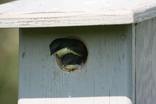 Nearly 90 bird boxes have been built in Salmon Arm, B.C., to help swallow populations flourish.