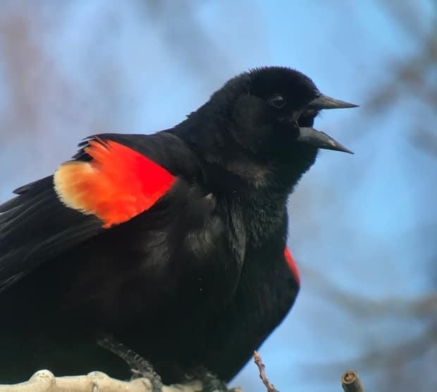 A red-winged blackbird, captured by Hildebrant in Yellowknife.