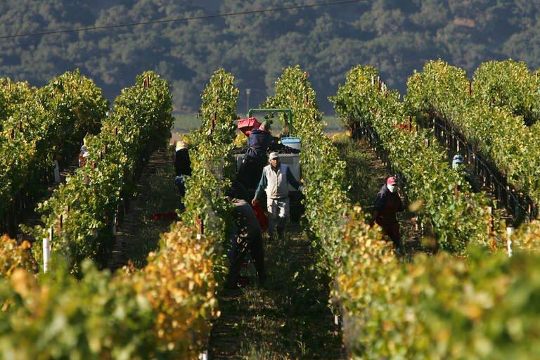 File photo of farm workers harvesting wine grapes at a vineyard in Santa Maria, California, on October 9, 2006