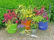 """<div class=""""caption-credit"""">Photo by: Nancy Ondra</div><div class=""""caption-title"""">Beyond the Pails</div>Plastic, metal or wooden buckets are ideal for displaying all kinds of flowering and foliage favorites. Smaller pails are perfect for individual plants; bigger buckets are great for large single plants or colorful combinations."""