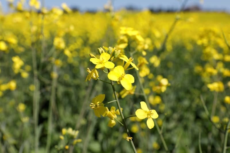 FILE PHOTO: Western Canadian canola fields are seen in full bloom before they will be harvested later this summer in rural Alberta